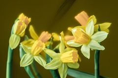 黄水仙黄色春天开花特写镜头 免版税库存图片