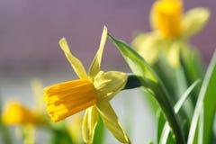 黄水仙黄色春天开花特写镜头 免版税图库摄影