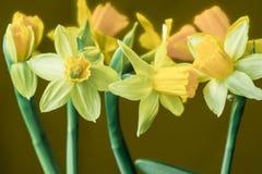 黄水仙黄色春天开花特写镜头 库存照片