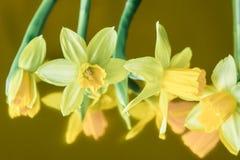 黄水仙黄色春天开花特写镜头 免版税库存照片