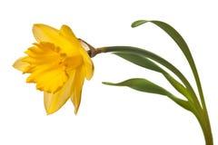 黄水仙黄色 免版税库存图片