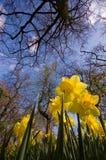 黄水仙 库存图片