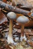 黄油butyracea盖帽collybia真菌 库存照片