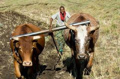 黄牛和耕犁 库存图片
