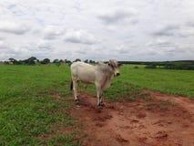 黄牛在牧场地 库存照片