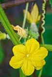 黄瓜和小绿色黄瓜的黄色花 免版税库存图片