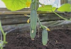 黄瓜在一张垂直的床上增长自温室 特写镜头 库存照片