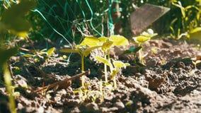 黄瓜在地面,妇女杂草发芽在植物旁边的地面 影视素材