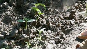 黄瓜在地面,妇女杂草发芽在植物旁边的地面 股票视频
