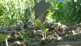 黄瓜在地面,妇女杂草发芽在植物旁边的地面 股票录像