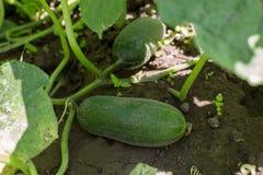 黄瓜在庭院里 免版税库存图片