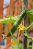 黄瓜在庭院里 免版税库存照片