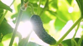黄瓜在灌木增长在阳光下 r r 增长的黄瓜  股票视频