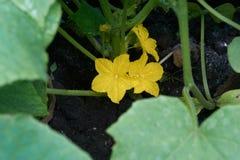 黄瓜成长在绽放的 免版税图库摄影