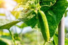 黄瓜收获自一间小国内温室 黄瓜果子增长并且准备好收获 黄瓜品种,clim 免版税库存照片