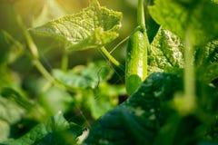 黄瓜收获自一间小国内温室 黄瓜果子增长并且准备好收获 黄瓜品种,clim 免版税图库摄影