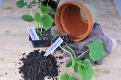 黄瓜种植 库存图片