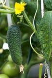 黄瓜绿色 库存照片