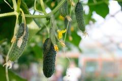 黄瓜自温室增长 黄瓜词根用不同程度成熟,退色的黄色花,茂盛植物果子, 库存图片