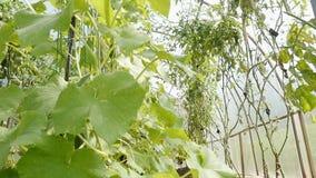 黄瓜自温室增长 股票视频