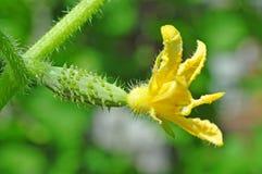 黄瓜花的卵巢  免版税库存图片