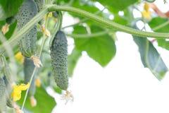 黄瓜词根用不同程度成熟,退色的黄色花,茂盛植物,卷曲卷须果子  免版税库存图片