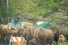 黄石国家公园,怀俄明,美国- 2018年6月19日:北美野牛在黄石 在高速公路的果酱由于北美野牛出现  免版税库存图片