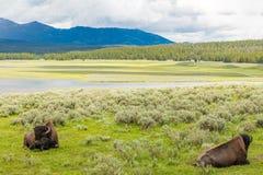 黄石国家公园,麦迪逊河谷,北美野牛牧群 免版税库存图片