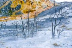 黄石诺哩斯喷泉水池博物馆被淹没的树 免版税库存图片
