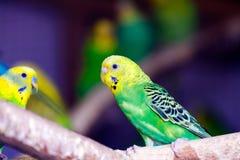 黄绿小鹦鹉 库存图片