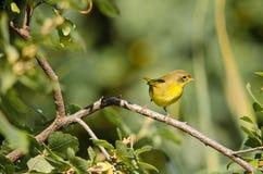 黄腹吸汁啄木鸟的捕蝇器 图库摄影