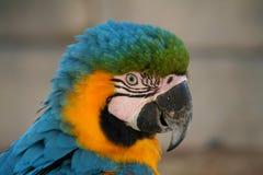 黄色一只美丽的金刚鹦鹉的头蓝色和 免版税库存照片