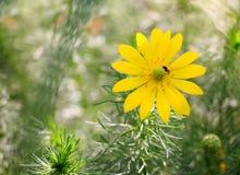 黄色一朵美丽的春天花  免版税库存图片