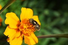 黄色万寿菊在前Tagetes的开花的特写镜头 免版税库存照片