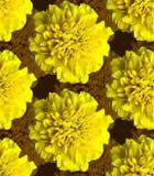 黄色万寿菊样式 美好的花背景纹理 图库摄影