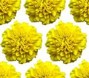 黄色万寿菊样式 美好的花背景纹理 免版税库存照片