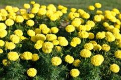 黄色万寿菊生长 库存照片