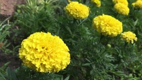 黄色万寿菊花在庭院里 股票录像
