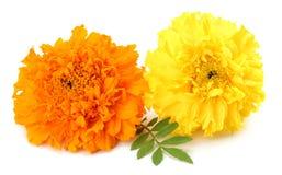 黄色万寿菊花, Tagetes erecta,墨西哥万寿菊,阿兹台克万寿菊,在白色背景隔绝的万寿菊 免版税库存照片