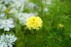 黄色万寿菊花 美丽的明亮的花在一个晴天 库存照片