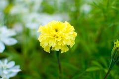 黄色万寿菊花 美丽的明亮的花在花床上的一个晴天 库存照片