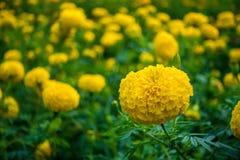 黄色万寿菊 库存照片