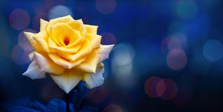 黄色上升了轻的Bokeh蓝色背景情人节 免版税库存照片