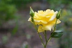 黄色与芽的玫瑰特写镜头 免版税库存照片