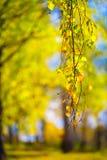 黄色从前的秋天,桦树orest背景 库存图片