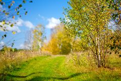 黄色从前的秋天,桦树orest背景 库存照片