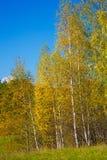 黄色从前的秋天,桦树orest背景 图库摄影