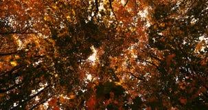 黄色从明亮的秋天树的叶子秋天 影视素材