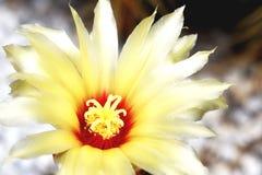 黄色仙人掌在庭院里开花 免版税图库摄影