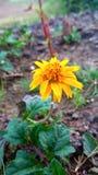 黄色令人敬畏的花 免版税图库摄影